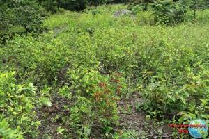 Plantacion de coca en el medio de la selva