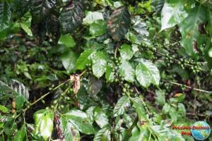 Planta de donde se extrae el cafe
